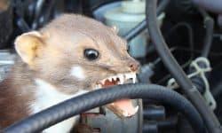 Achtung Autofahrer: Marderzeit!